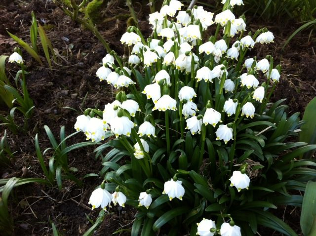 Snowdrops at Burtown House Kildare