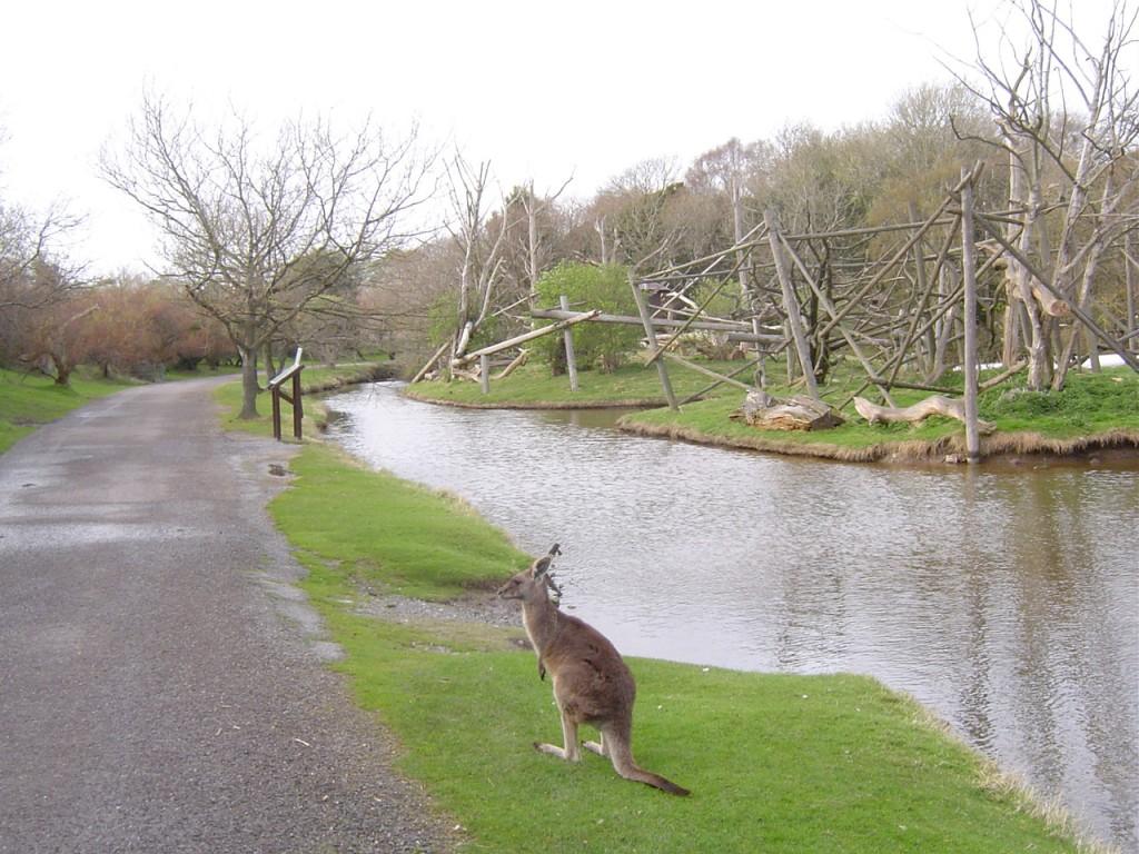 Kangaroo at Fota,things to do in cobh,fota cork,fota wildlife park